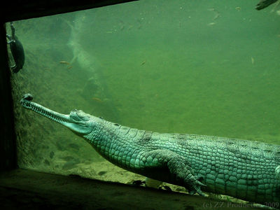 Gharial, Madras Crocodile Bank