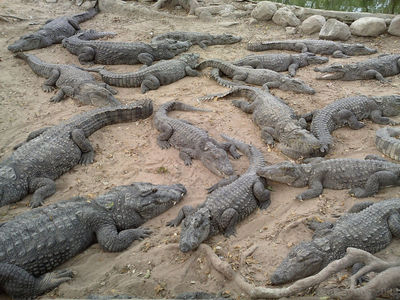 Mugger crocs, Madras Crocodile Bank