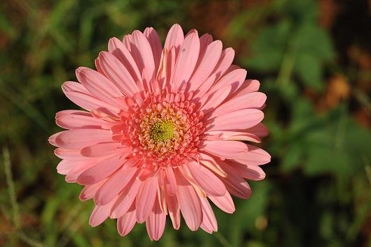 s.a. Daisy 2