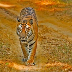 Tigers in Bandhavgarh