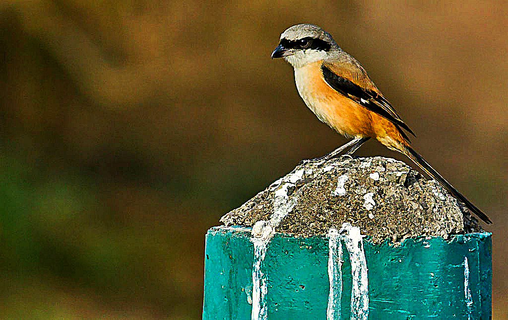 No shy shrike