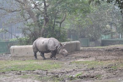 The typical one horned Indian Rhinoceros at Kolkata Zoo