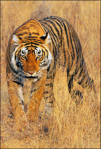 Striped for Extra Pleasure - The Indian Tiger