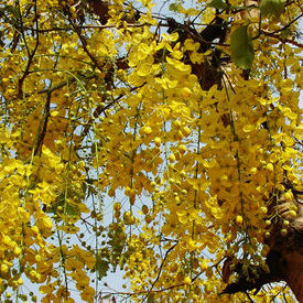 Cassia Fistula  Indian Laburnum