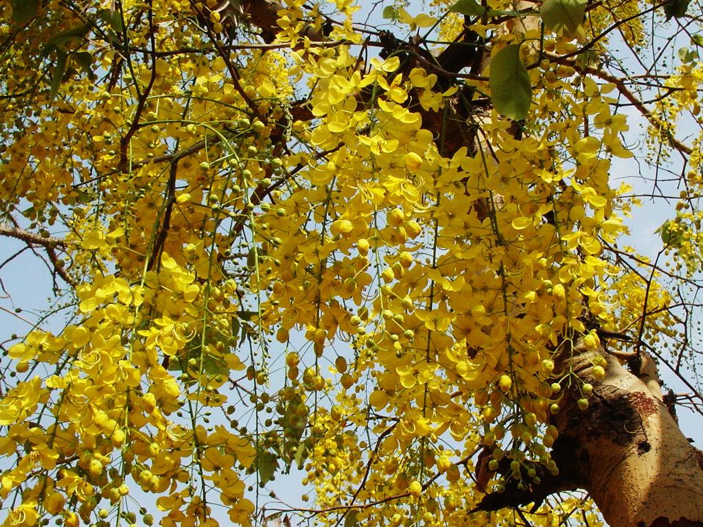 Cassia Fistula  Indian Laburnum
