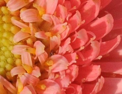 s.a. Daisy 2 closeup