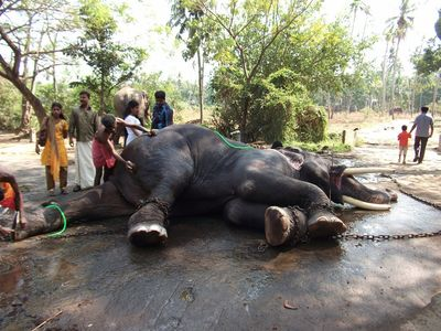 washing the elephant, Guruvayur elephant sanctuary