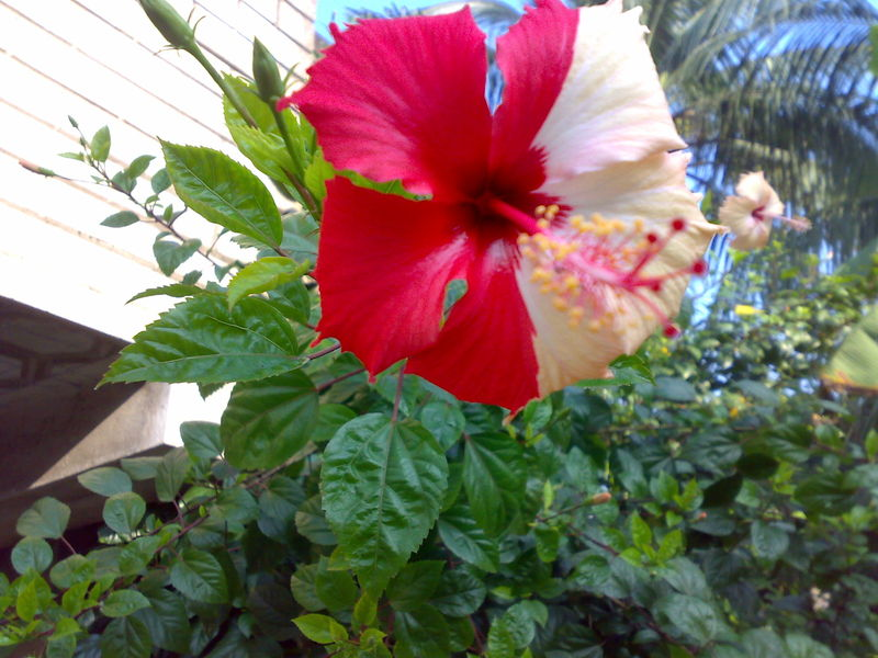 India Travel Pictures Hibiscus Flower Two One Colour