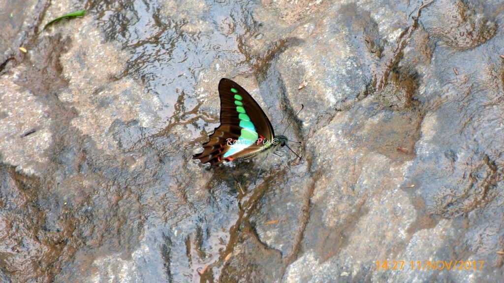 Rare blue-green peacock butterfly