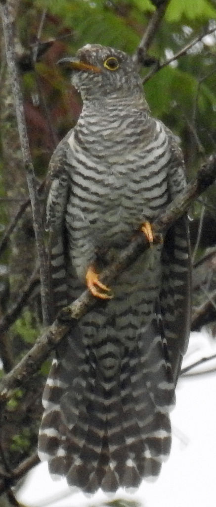 Unidentified cuckoo July 2017