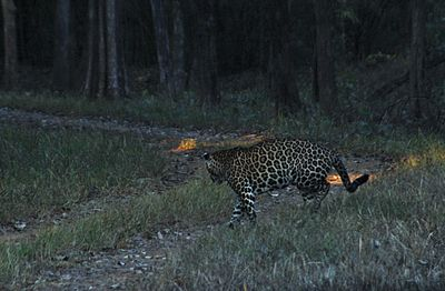 Leopard crossing the road