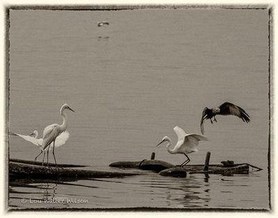 Brahmini Kite & Egrets