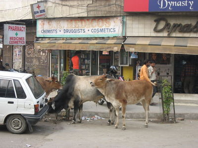 Cows at Pharmacy