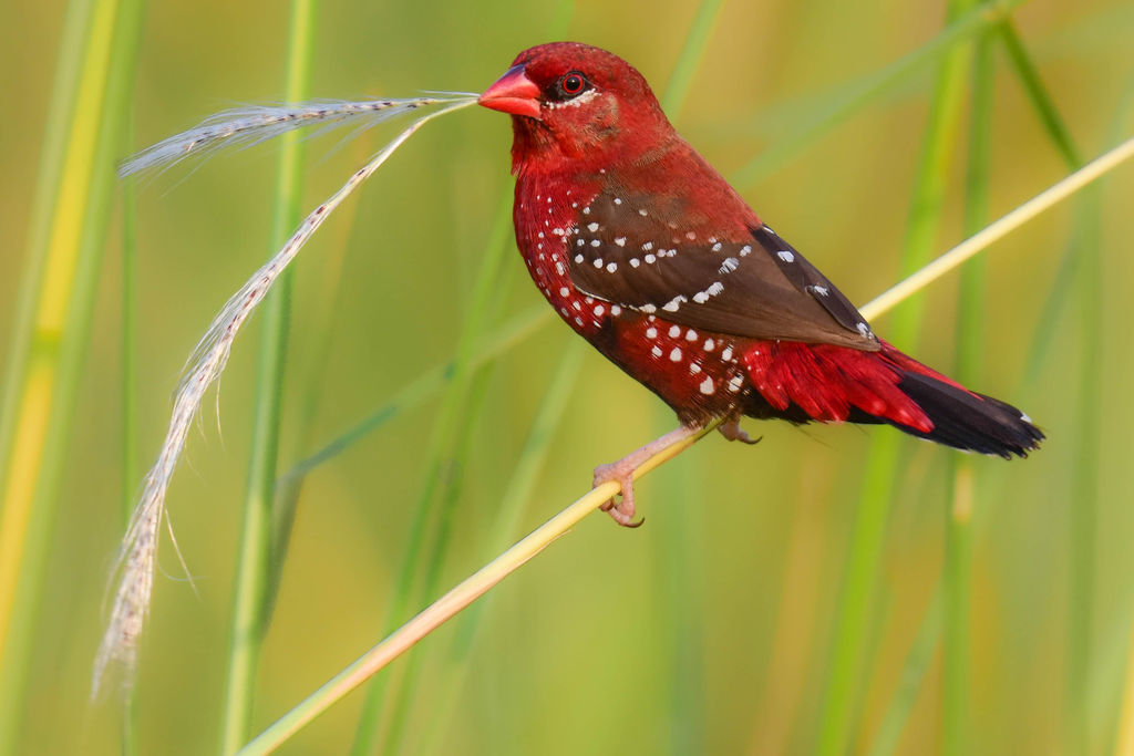 Red Munia with nesting material