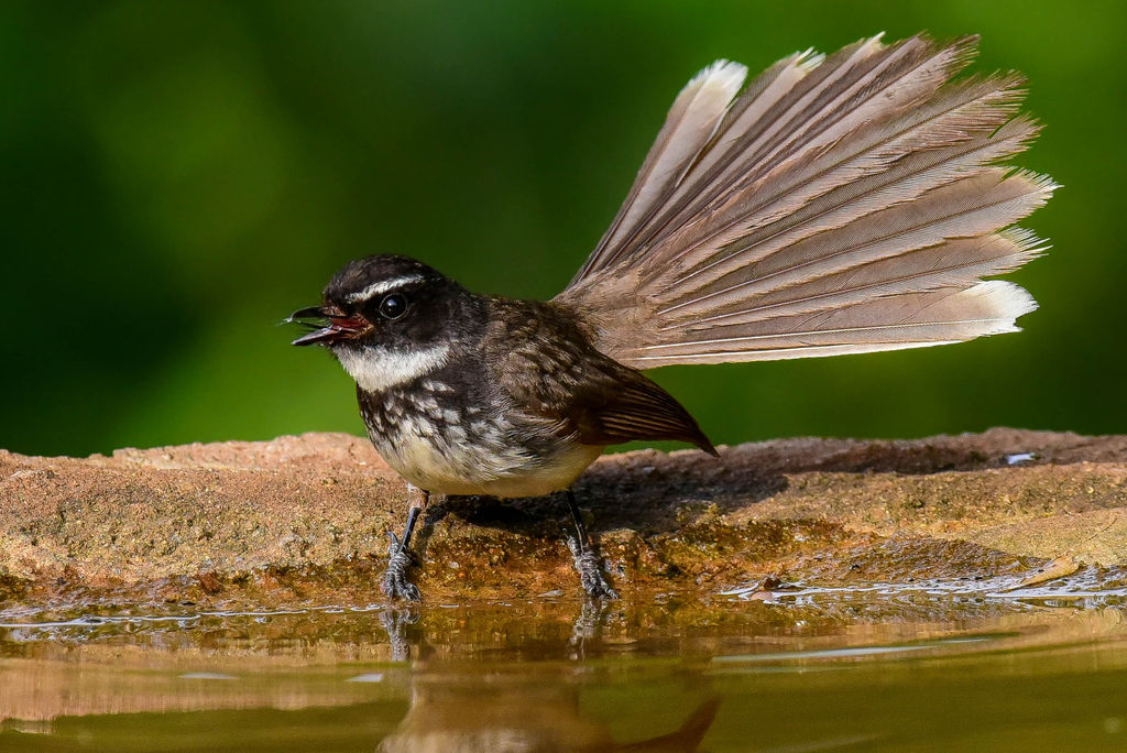 White Throated Fantail