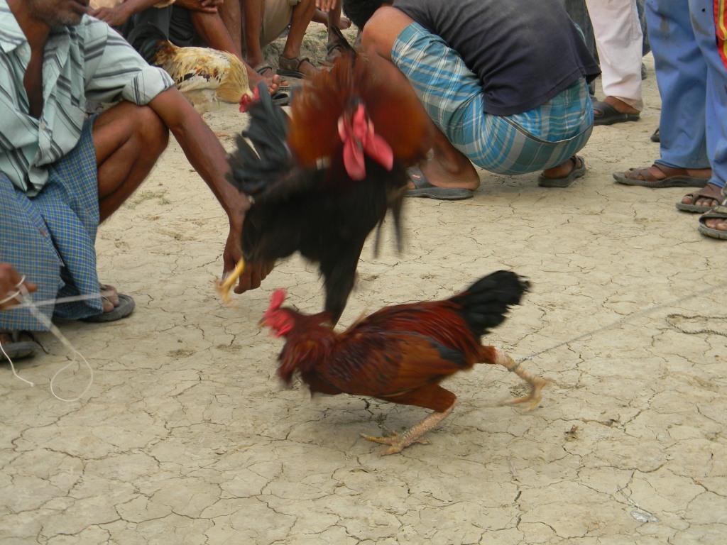 A Village cockfight