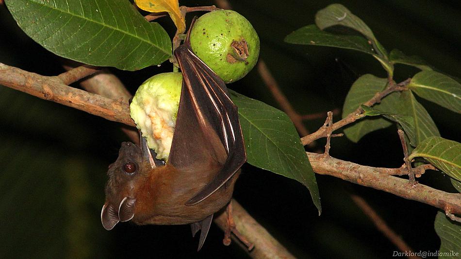Guava thief