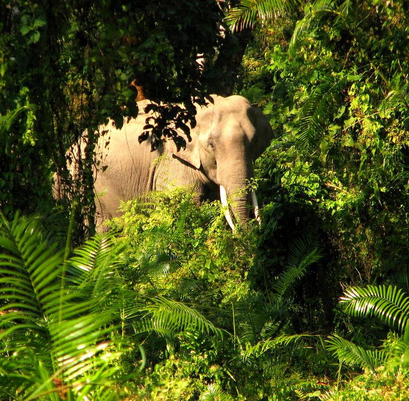 kaziranga - elephant