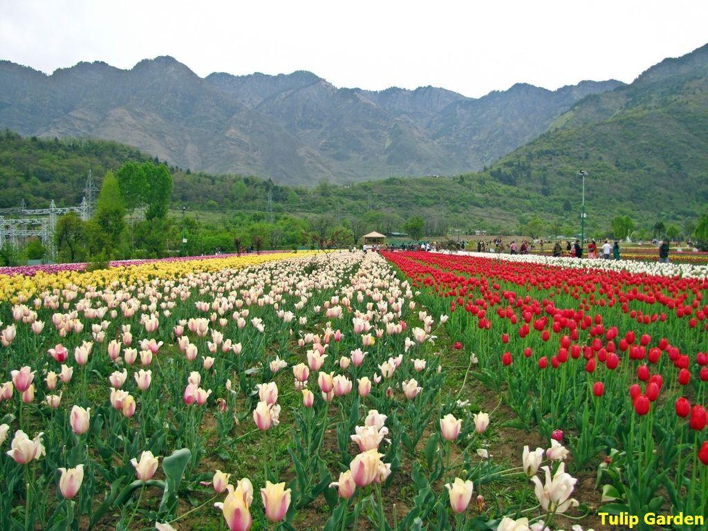 Tulip Garden - Srinagar, Kashmir