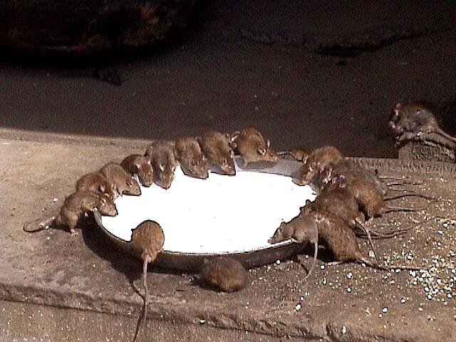 Inside Rat Temple