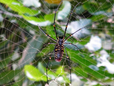 Spider of Ajodhya hill