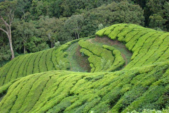High altitude tea plantation at Top Station near Munnar