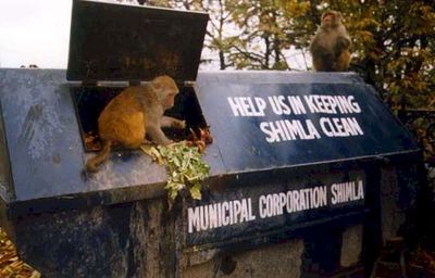 Monkeys, Shimla