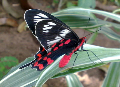 A Very Red Butterfly