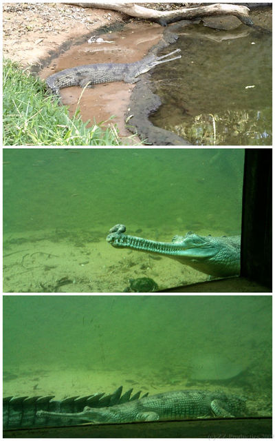 Gharials, Madras Crocodile Bank