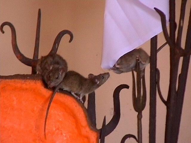 Inside Rat Temple (2)