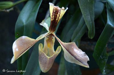 Cypripedium Orchid (lady's-slipper orchid)
