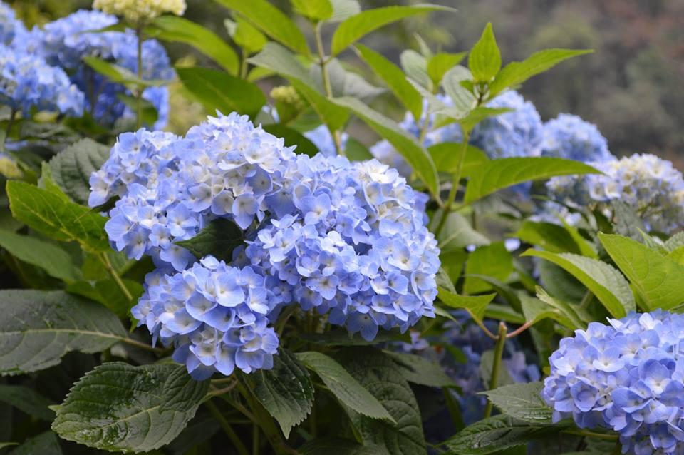 Lavender Flowers Pelling