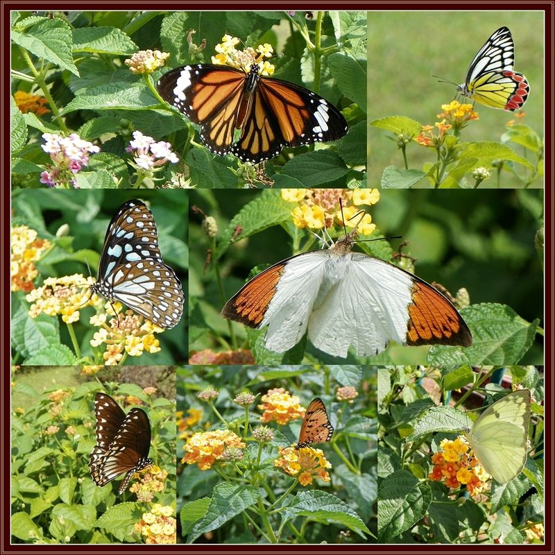 Mumbai - Glimpses of Nature - Butterflies at the Hanging Gardens