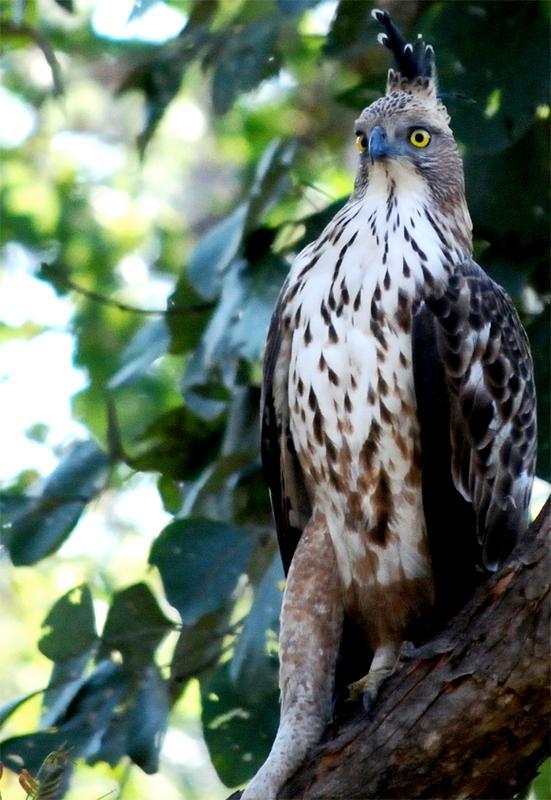 Crested Eagle.jpg