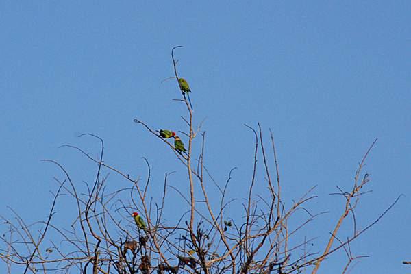 Name:  courtship feeding_plum headed parakeet, nagzira.jpg Views: 10149 Size:  25.0 KB