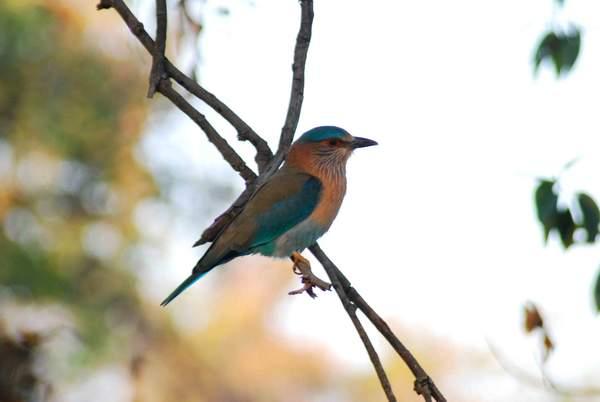 Name:  Indian Roller, Nagzira.jpg Views: 10766 Size:  18.3 KB
