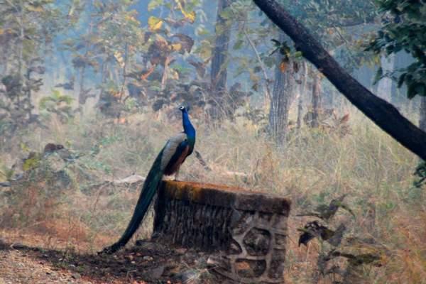 Name:  peacock, nagzira.jpg Views: 10450 Size:  39.2 KB