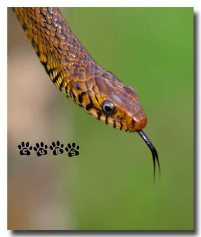 Name:  Rat Snake.jpg Views: 605 Size:  17.9 KB