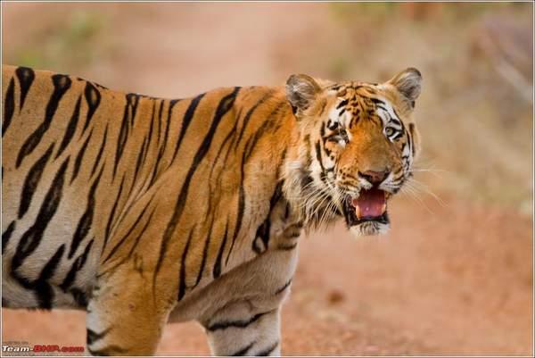 Name:  MP Tiger Hunt - 80.jpg Views: 4532 Size:  30.5 KB