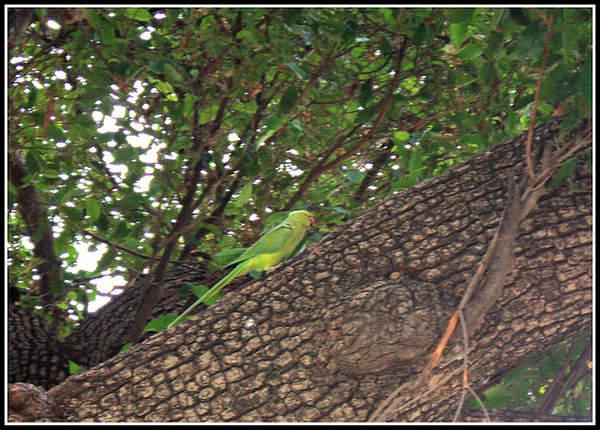 Name:  Parrot.jpg Views: 3272 Size:  73.0 KB