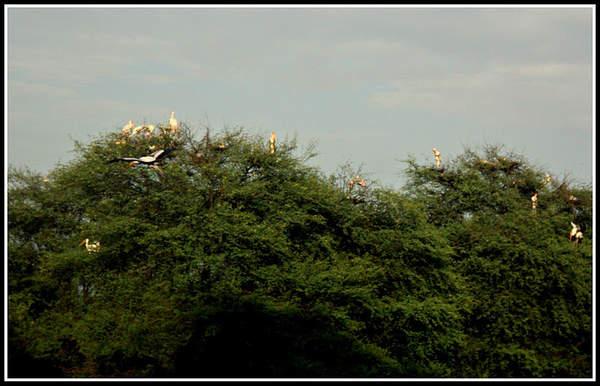 Name:  Painted Storks.jpg Views: 3003 Size:  37.8 KB