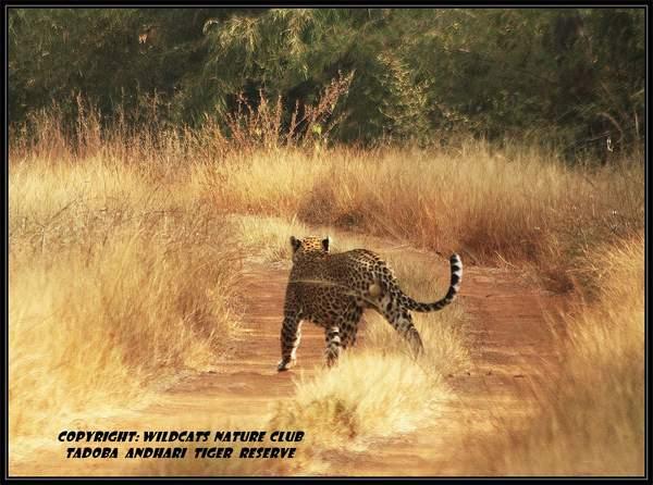 Name:  tatr leopard.jpg Views: 1072 Size:  48.0 KB