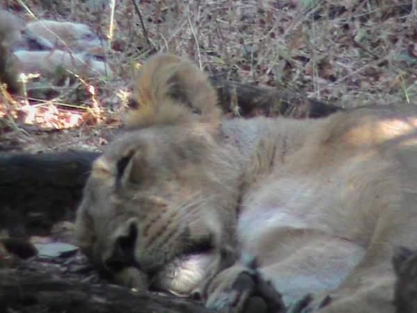 sleeping lioness.jpg