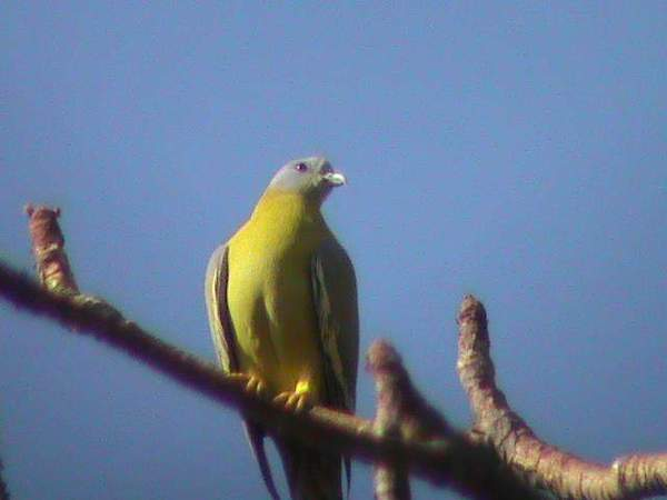 yellow footed green pigeon.jpg