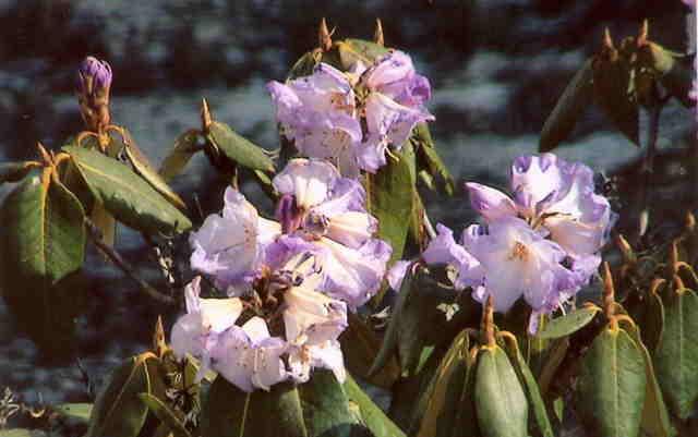 Rhodedendron flowers.jpg
