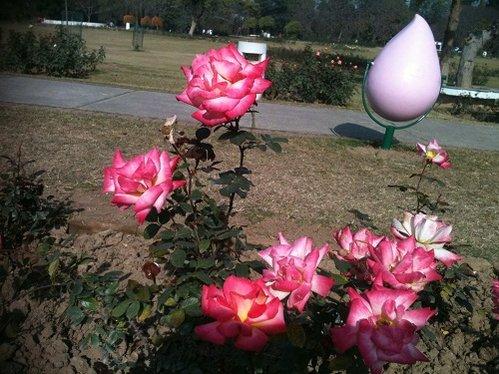 rose grden1.jpg