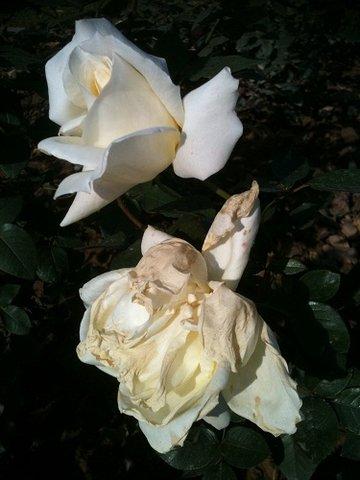 rose white.jpg