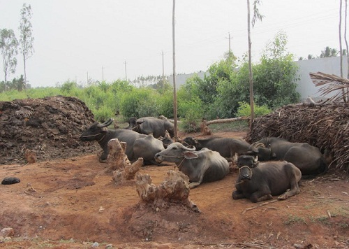 buffaloes.jpg