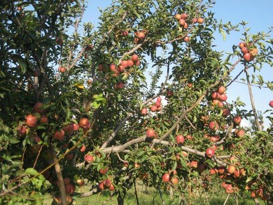 Apple Garden Jammu Kashmir Fasci Garden