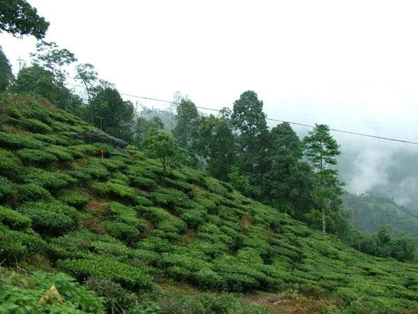 Name:  Tea estates1.jpg